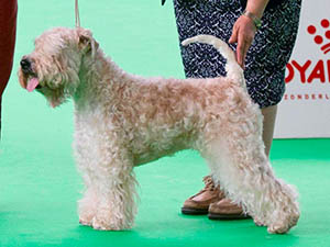 Soft-Coated Wheaten at crufts