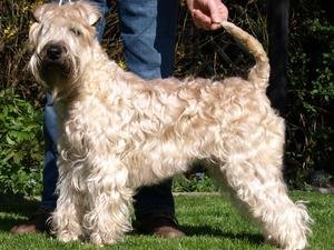 Soft-Coated Wheaten