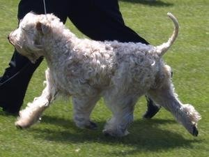 Soft-Coated Wheaten at show